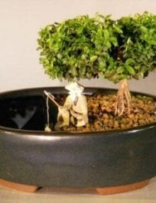 Japanese Kingsville Boxwood Bonsai Tree For Sale Land/Water Container - Medium (buxus microphylla compacta)