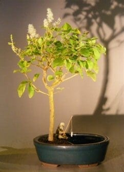 Flowering Ligustrum Bonsai Tree For Sale in a Water Pot (ligustrum lucidum)