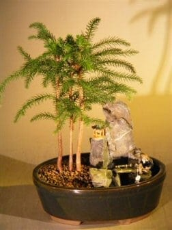 Norfolk Island Pine Bonsai Tree For Sale - Stone Landscape Scene