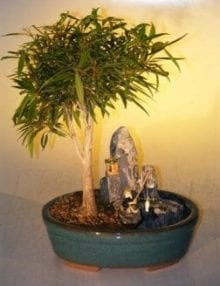 Willow Leaf Ficus Bonsai Tree For Sale Stone Landscape Scene (Ficus Nerifolia/Salisafolia)