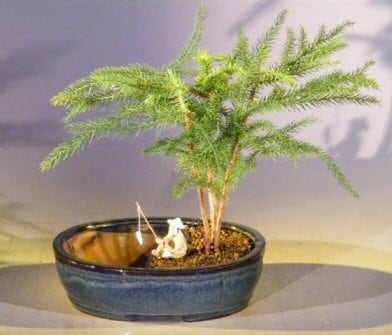 Norfolk Island Pine Bonsai Tree For Sale Water/Land Container - Medium (Araucaria Heterophila)