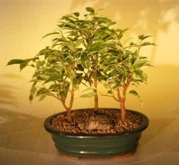 Ficus Bonsai Tree For Sale - Variegated 3 Tree Forest Group (ficus benjamina)