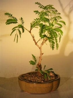Flowering Mimosa Bonsai Tree For Sale - Medium (leucaena glauca)