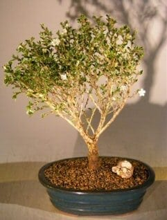 Chinese Flowering White Serissa Bonsai Tree For Sale of a Thousand Stars (serissa japonica)