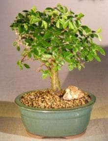 Chinese Elm Bonsai Tree For Sale - Aged Straight Trunk Style (ulmus parvifolia)