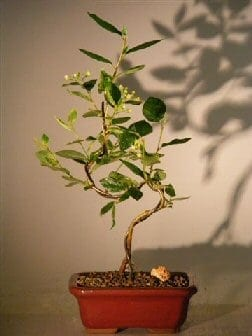 Flowering Cotoneaster Bonsai Tree For Sale Curved Trunk Style (Cotoneaster 'Lucidus')