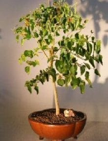 Flowering Dwarf Everbearing Mulberry Bonsai Tree For Sale (Morus Nigra)