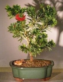 Flowering Bottlebrush Bonsai Tree For Sale - Little John - Large (Callistemon Citrinus Little John)