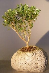 Chinese Flowering White Serissa Bonsai Tree For Sale in Lava Rock Pot Tree of a Thousand Stars (Serissa Japonica)