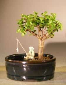 Baby Jade Bonsai Tree For Sale Water/Land Container - Small (Portulacaria Afra)