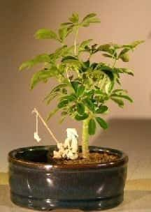 Hawaiian Umbrella Bonsai Tree For Sale Water/Land Container - Small (arboricola schefflera 'luseanne')