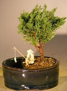 Shimpaku Bonsai Tree For Sale Water/Land Container - Small (shimpaku itoigawa)