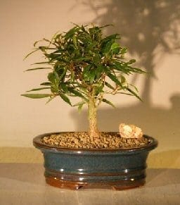 Willow Leaf Ficus Bonsai Tree For Sale - Small (Ficus Nerifolia/Salisafolia)
