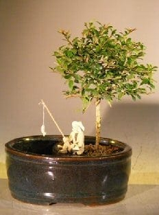 Flowering Tropical Boxwood Bonsai Tree For Sale Land/Water Container - Small (neea buxifolia)