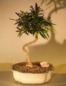 Willow Leaf Ficus Bonsai Tree For Sale - Medium Coiled Trunk Style (ficus nerifolia/salicafolia)