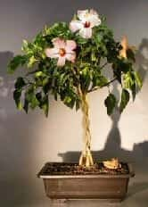 Flowering Tropical Pink Hibiscus Braided Trunk Bonsai Tree For Sale (rosa sinensis)