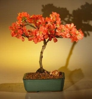 Japanese Flowering Quince Bonsai Tree For Sale - Super Red (chaenomeles japonica 'moned')