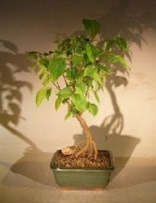 Flowering Kousa Dogwood Bonsai Tree For Sale (cornus kousa 'chinensis')