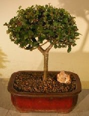 Chinese Elm Bonsai Tree For Sale Straight Trunk (ulmus parvifolia)