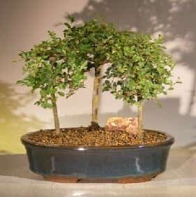 Chinese Elm Bonsai Tree For Sale 3 Tree Forest Group Scene (ulmus parvifolia)