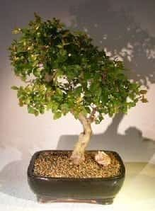 Flowering Sweet Plum Bonsai Tree For Sale (sageretia theezans)