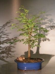 Horseflesh Mahogany Bonsai Tree For Sale - Large (lysiloma sabicu)