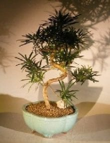 Flowering Podocarpus Bonsai Tree For Sale Curved Trunk Style - Large (podocarpus macrophyllus)