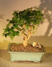 Flowering Ligustrum Bonsai Tree For Sale Straight Trunk Medium (ligustrum lucidum)