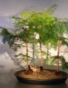 Redwood Bonsai Tree For Sale Three(3) Tree Forest Group (metasequoia glyptostroboides)