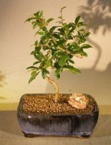 Flowering Fukien Tea Bonsai Tree For Sale Coiled Trunk Style (ehretia microphylla)