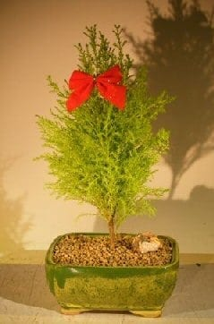 Lemon Cypress Bonsai Tree For Sale (cupressus macrocarpa)