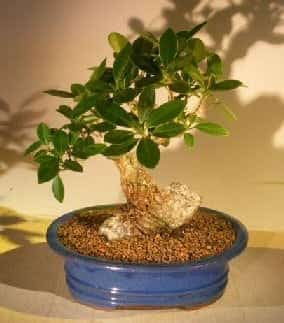 Green Emerald Ficus Bonsai Tree For Sale Root Over Rock Style (ficus microcarpa)