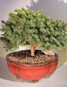 Dwarf Norway Spruce Bonsai Tree For Sale (picea abies 'pygmaea')