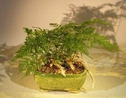 White Rabbit's Foot Fern Bonsai Tree For Sale (humata tyermanii)