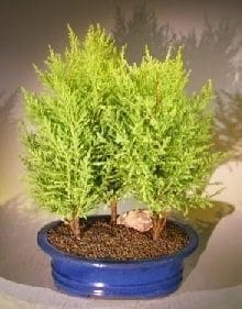Lemon Cypress Bonsai Tree For Sale Three Tree Forest Group (cupressus macrocarpa)