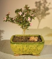Flowering Pink Serissa Bonsai Tree For Sale - Medium (Serissa Foetida)