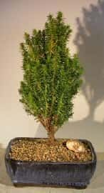 Cryptomeria Bonsai Tree For Sale - Medium (japonica - tansu)