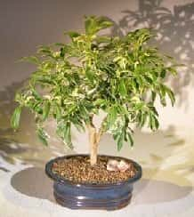Golden Hawaiian Umbrella Bonsai Tree For Sale - Medium (arboricola schefflera 'luseanne')