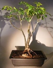 Flowering Gumbo Limbo Bonsai Tree For Sale - Root Over Rock (Bursera Simaruba)