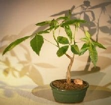 Money Bonsai Tree For Sale - 'Good Luck Tree' (pachira aquatica)