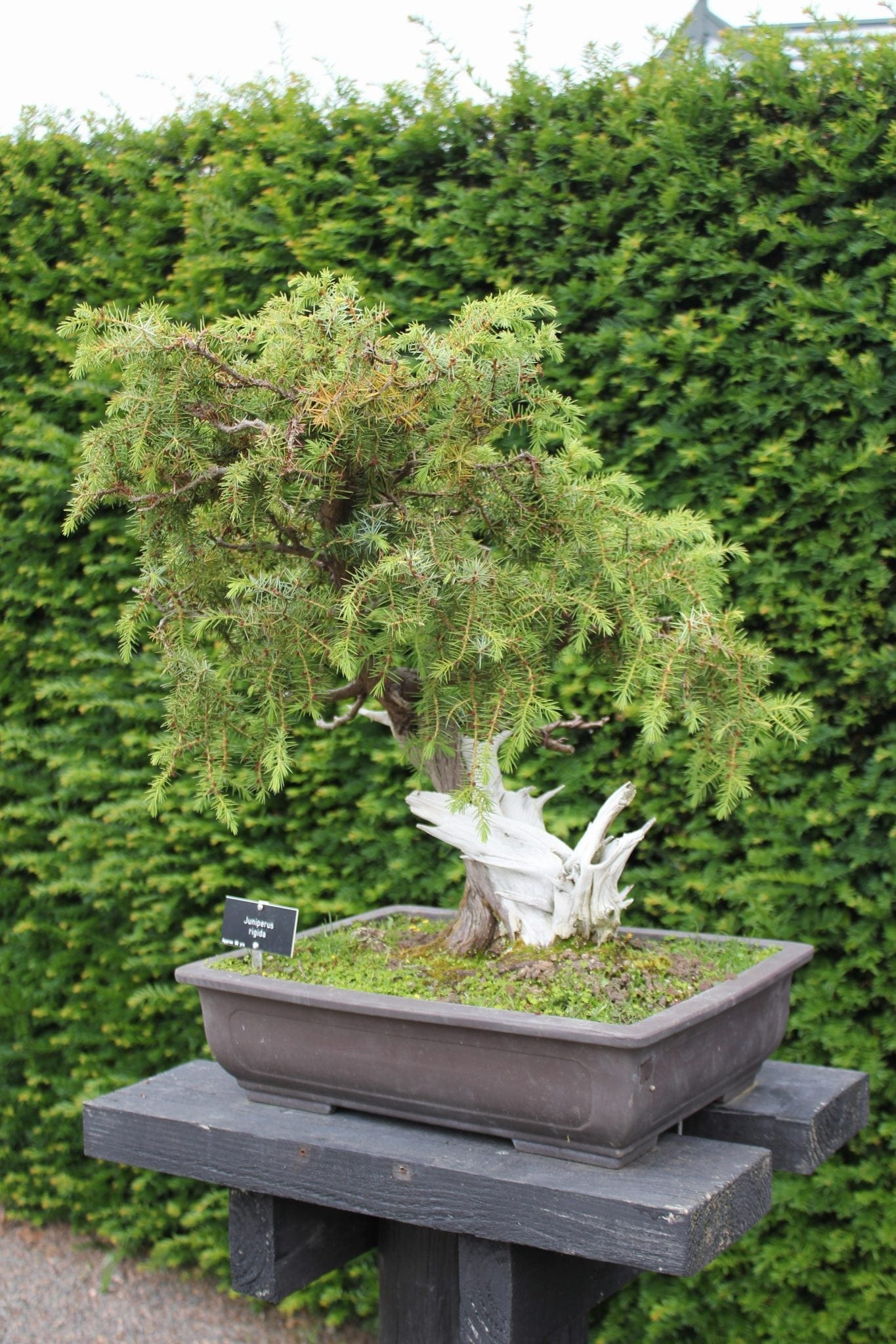 How Bonsai Trees Are Made