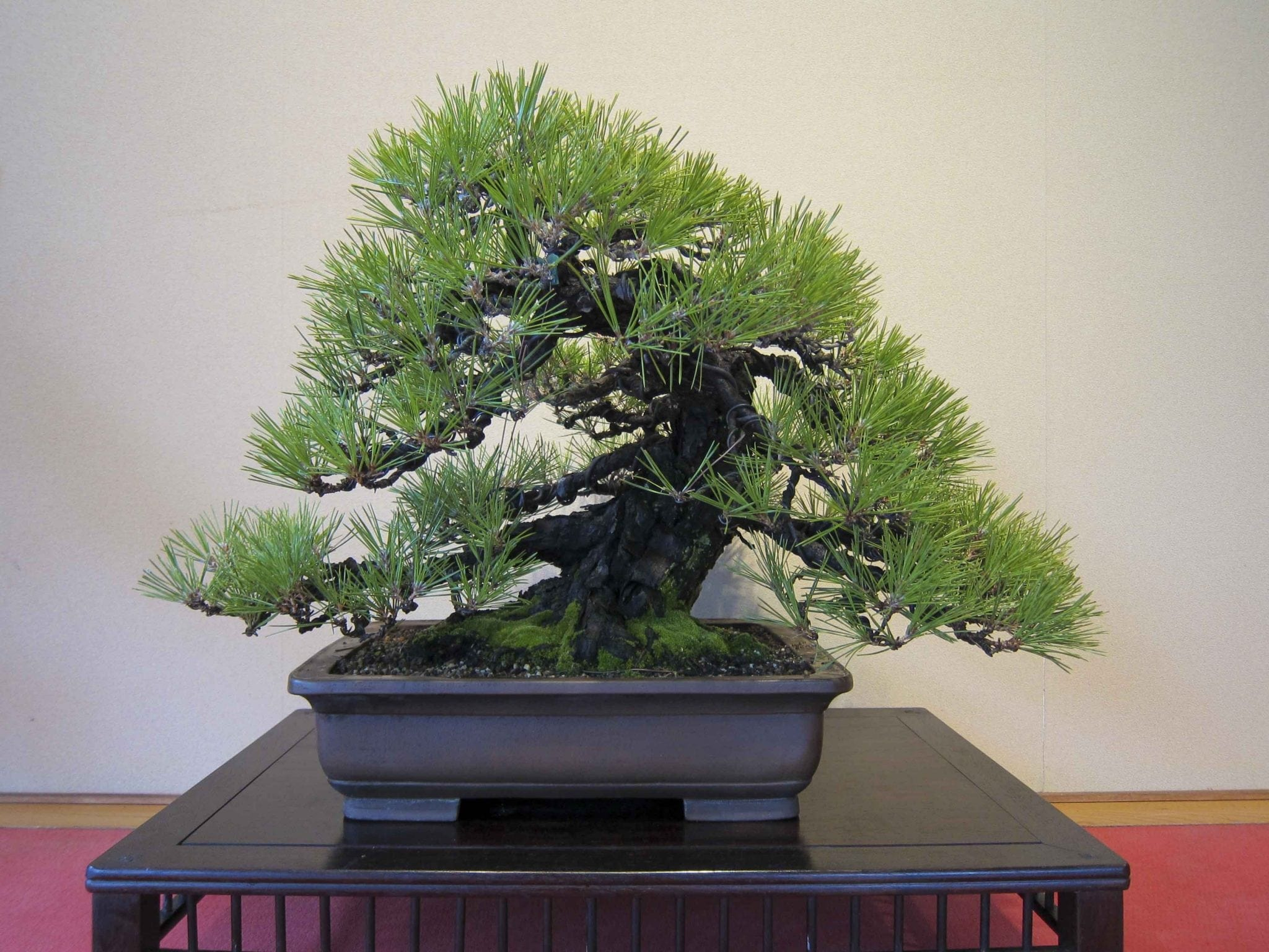 Pine Bonsai Tree Care Guide Bonsai Tree Gardener