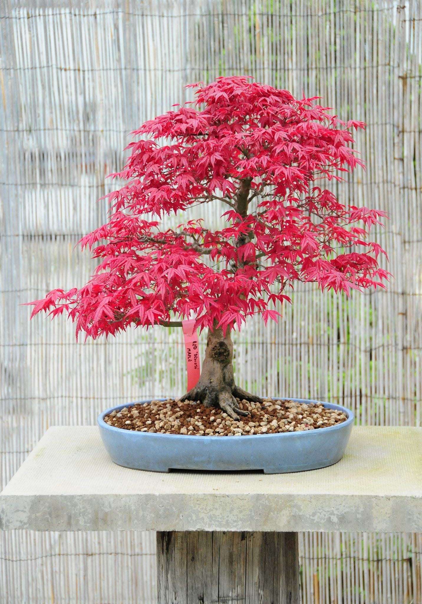 Japanese Maple Bonsai Tree Care Guide Acer Palmatum Bonsai Tree Gardener