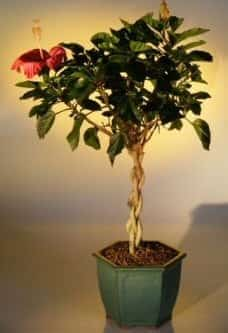 Flowering Tropical Red Hibiscus Braided Trunk Bonsai Tree For Sale (rosa sinsensis)