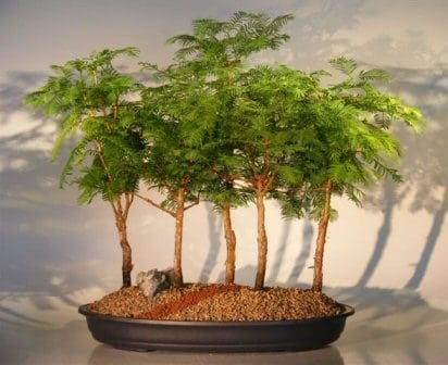Redwood Bonsai Tree For Sale - 5 Tree Forest Group (metasequoia glyptostroboides)