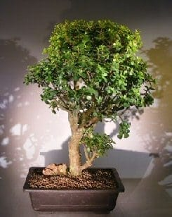 Baby Jade Bonsai Tree For Sale #3 (Portulacaria Afra)