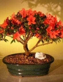Flowering Red Azalea Bonsai Tree For Sale ('Hino Crimson' (Kurume)
