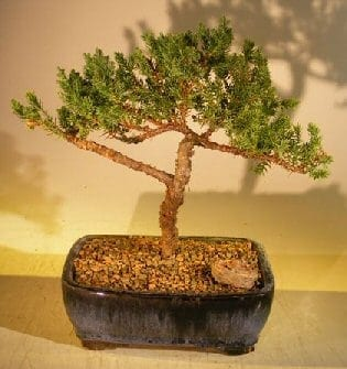 Juniper Bonsai Tree For Sale #61 - Trained (juniper procumbens 'nana')
