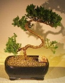 Juniper Bonsai Tree For Sale #62 - Trained (juniper procumbens 'nana')