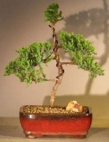 Juniper Bonsai Tree For Sale #34 - Trained (juniper procumbens nana)
